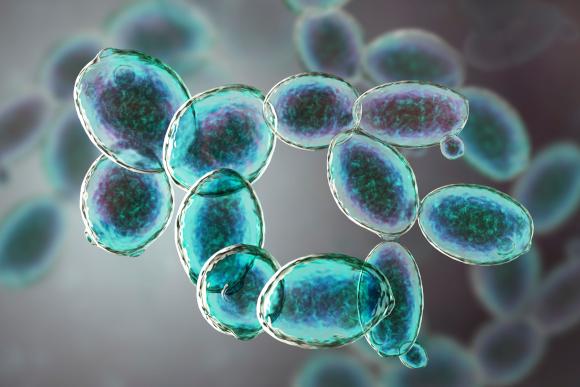 עלולים לגרום לשינויים דלקתיים במעי ולהחמיר מחלות. שמרי האפיה Saccharomyces cerevisiae | איור: Science Photo Library