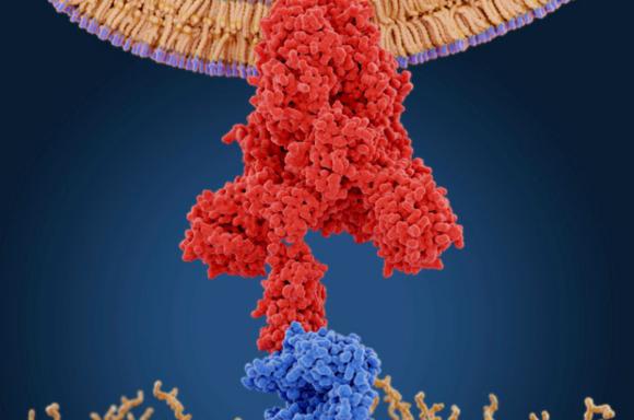 החלבון של הנגיף (אדום) נקשר לקולטן ACE2 על גבי תא אדם | איור: JUAN GAERTNER / SCIENCE PHOTO LIBRARY