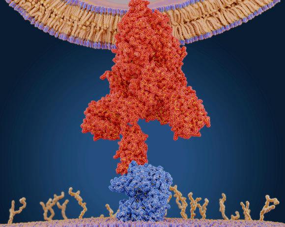 החלבון של כמה בעלי חיים דומה לזה של האדם. קולטן ACE2, על פני התא (אדום) והנגיף הנקשר אליו | איור: JUAN GAERTNER / SCIENCE PHOTO LIBRARY