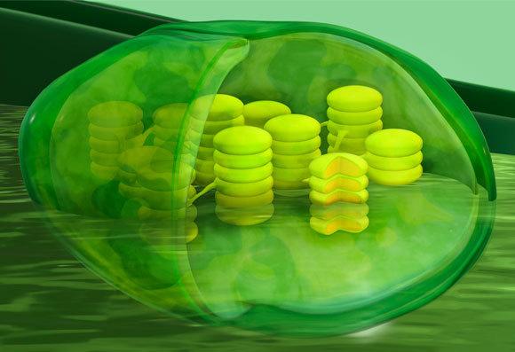 מבנה הכלורופלסט, שבו מתבצעת הפוטוסינתזה | איור: TUMEGGY / SCIENCE PHOTO LIBRARY