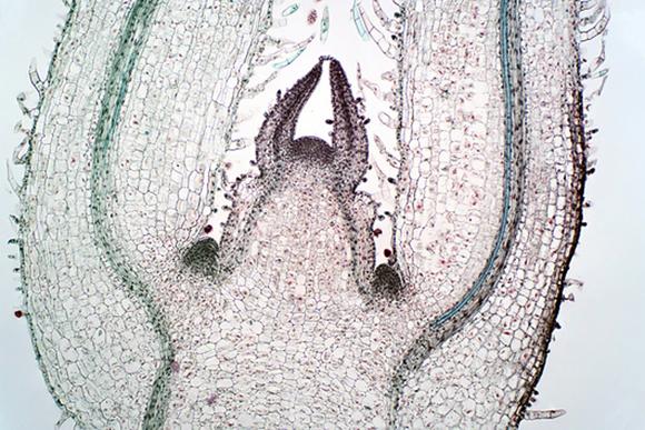צילום מיקרוסקופ של המריסטמה, מעגל תאי הגזע שממנו פורצים הניצנים | Choksawatdikorn, Science Photo Library
