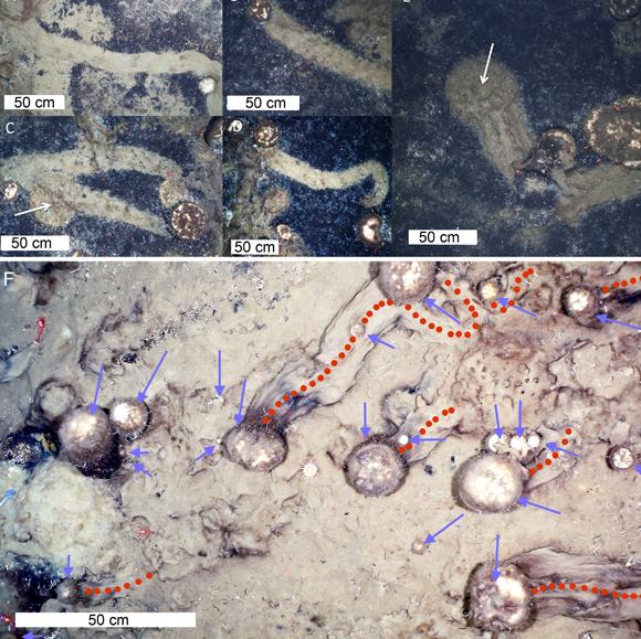 תמונה מהמאמר המראה את שבילי הספוגים | AWI OFOBS team, PS101; Morganti et al./Current Biology