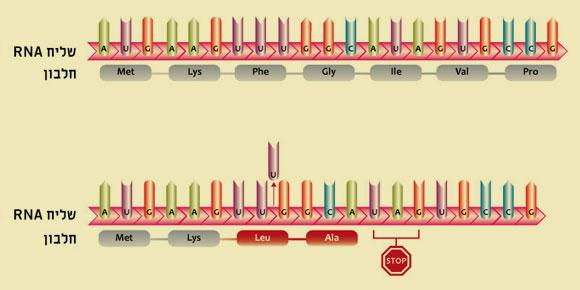 אילוסטרציה של מוטצית הסטת מסגרת | Adapted from Campbell NA (ed.) Biology, 1990