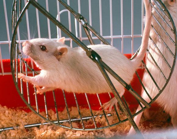 עכבר על גלגל ריצה | SPL, Tek Image
