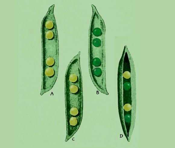 מה קורה כשמכליאים צמח בעל אפונים צהובים עם בעל אפונים ירוקים? איור של תוצאות ניסוי של מנדל| Science Photo Library