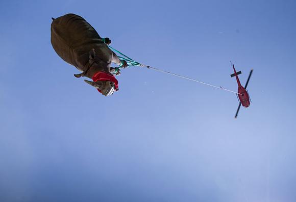 קרנף מועבר במסוק מדרום אפריקה לבוצוואנה | © David Murray