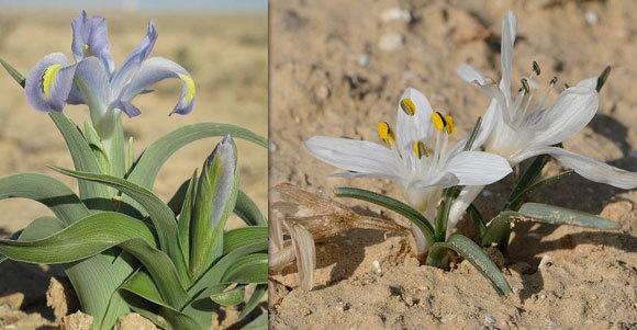 שני צמחים חדשים למדע שגילה קושניר  ונקראו לימים על שמו: סתוונית טוביה (מימין) ואירוס טוביה. | ויקיפדיה, Gideon Pisanty, אורי פרגמן-ספיר