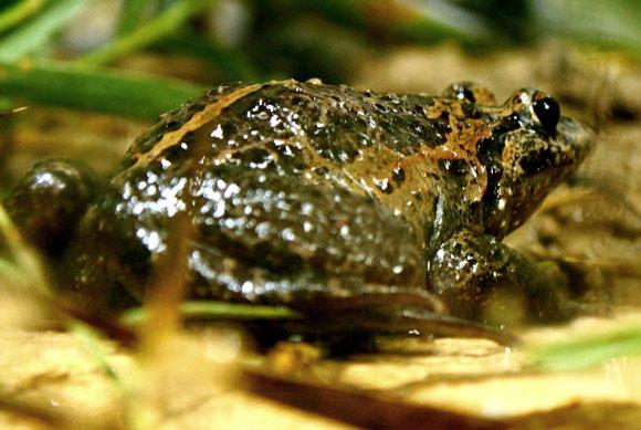 מין אנדמי לאגם החולה בסכנת הכחדה קריטית | צילום: Mickey Samuni-Blank, ויקיפדיה