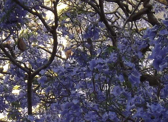 שגריר מהסוואנה צפופת העצים של דרום ברזיל. סיגלון פורח בכפר סבא | צילום: איגור ארמיאץ' שטיינפרס