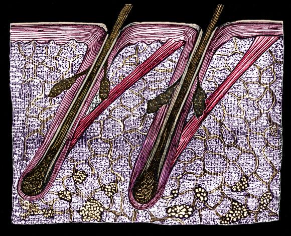 המפתח לצבע השיער: תאי הגזי המלנוציטיים. איור של זקיק השערה בעור | מקור: Science Photo Library