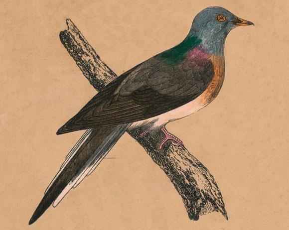 הציפור הנפוצה ביותר בצפון אמריקה בשנת 1800, נכחדה לחלוטין עד שנת 1914. היונה הנודדת, ציור מ-1850 | SPL