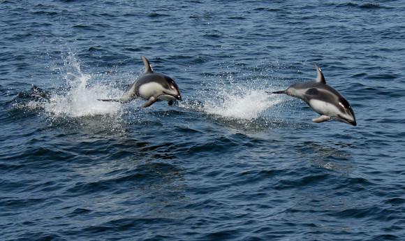 דולפינים פסיפיים לבני-צד בקליפורניה | צילום: Robert Schwemmer, NOAA