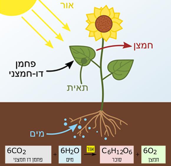 אילוסטרציה של צמח המקבל מים מהשורשים, פחמן דו חמצני מהאוויר ואנרגיה מהשמש, ומתחתיה הנוסחה הכימית של תהליך הפוטוסינתזה | ויקיפדיה, At09kg, Wattcle, Nefronus, עריכה גרפית בעברית מריה גורוחובסקי