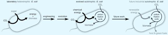 משמאל לימין: החיידק המקורי, החיידק המהונדס, והחיידק העתידי המשודרג | מקור: מכון ויצמן למדע