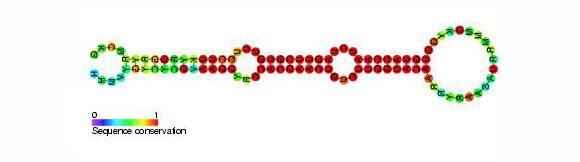 מבנה סכמטי כללי של מיקרו-RNA ממשפחת miR-218 | מקור: ויקיפדיה, נחלת הכלל