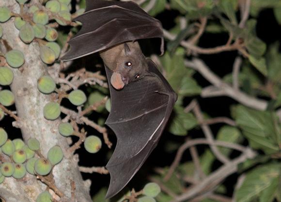 עטלף פירות עם ארוחת ערב