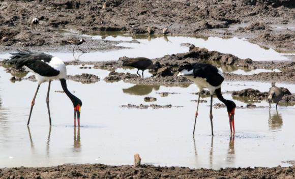 חסידות האוכף (חסידה אוכפית) מחפשות מזון במים עם מקורן | צילום: © David Hone
