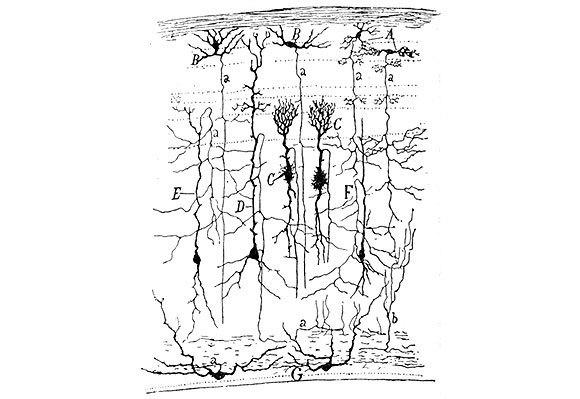 תאי עצב במערכת הראייה של ציפור דרור, ציור של רמון אי קחל מ-1905 | מקור: ויקיפדיה, נחלת הכלל