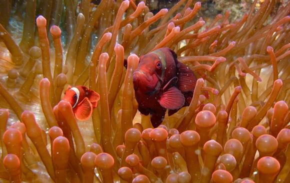 נקבה וזכר של דג ליצן מארון (שושנון דו-חודי) | צילום: Bernard Dupont, flickr