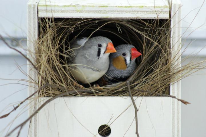 זוג ציפורי זברה פינק בקן | Sue Anne Zollinger