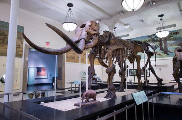 שלד מסטודון במוזיאון האמריקאי להיסטוריה של הטבע | צילום: AMNH