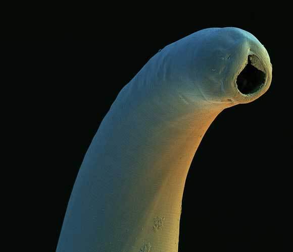 צילום מיקרוסקופ אלקטרונים של ראש של תולעת קרס | David Scharf, SPL