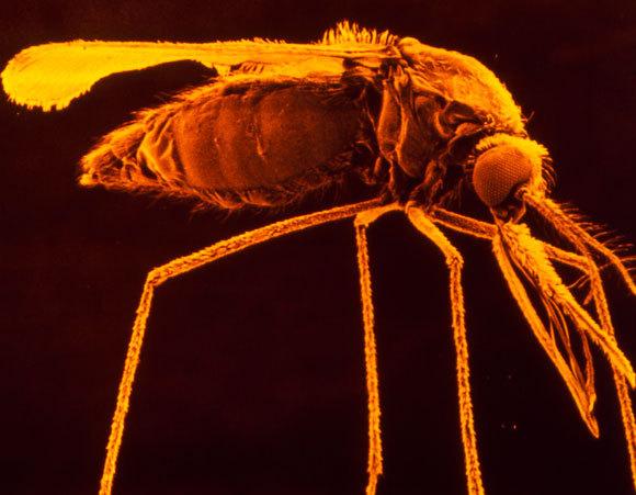 נקבת היתוש זוממת על הארוחה הבאה | צילום: Science Photo Library