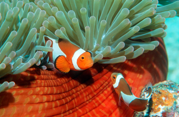 בלי מחזוריות של אור וחושך אף ביצה לא בקעה. דגי שושנון כתום מזויף | צילום: Science Photo Library