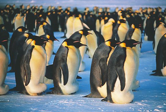 פינגווינים קיסריים דוגרים | Doug Allan, Science Photo Library