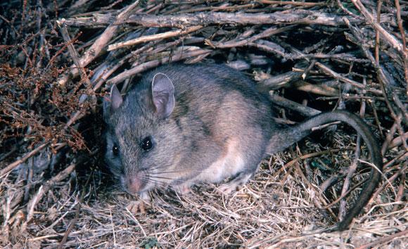 חולדה סוחרת בפתח הקן