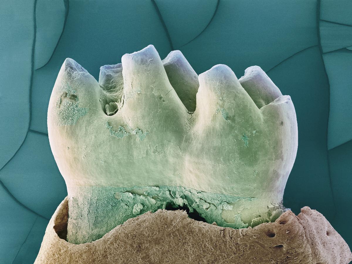 שן של עכבר | SPL