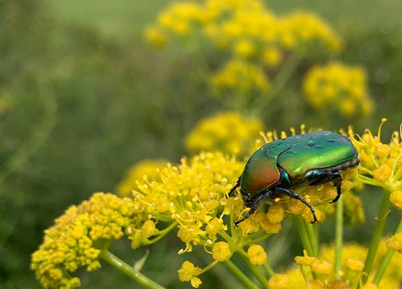 חיפושית נחושתית הקוצים | צילום: צביה אלגלי