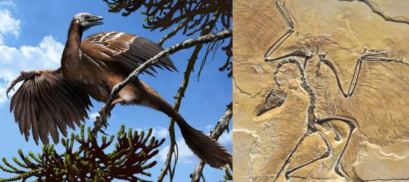 המאובן שהתגלה בגרמניה ושחזור של בעל החיים הקדום | מקור: Jaime Chirinos, Herve Conge, ISM / Science Photo Library