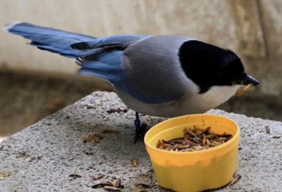 Eine Blauelster isst leckere Mehlkäferlarven | Bild der Universität Utrecht