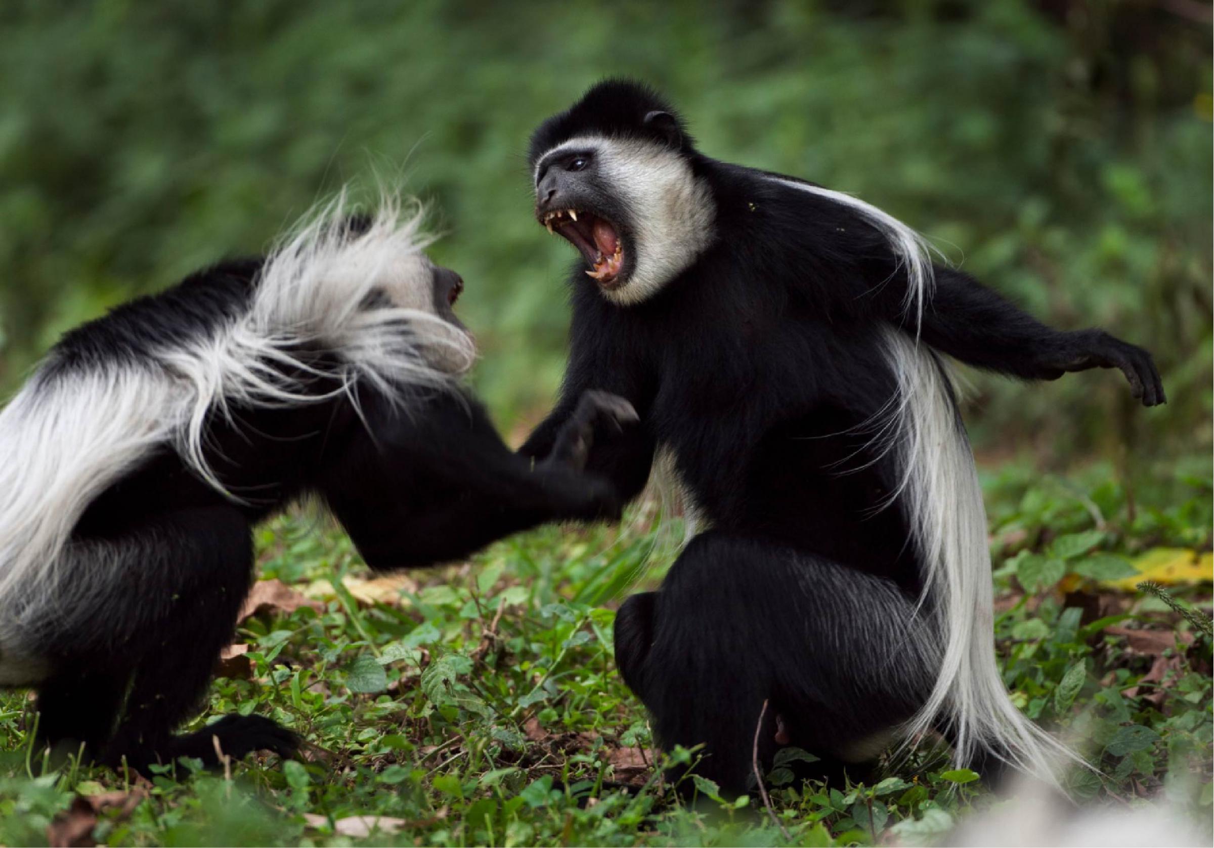 קופי קולובוס גרזה (Colobus guereza) נלחמים | Fiona Rogers, Nature Picture Library, SPL