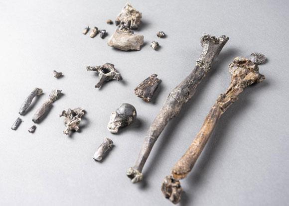 זרועות ארוכות, שוקיים דומים לאלו של אדם. עצמות מהשלדים המאובנים | Christoph Jäckle