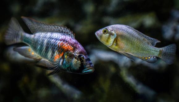 הצבעוניים והתוקפניים או הנחותים השקטים? דגי A. burtoni במחקר. צילום: The Jordan Lab, Max Planck Institute of Animal Behavior