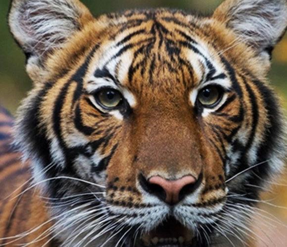 מצפים להחלמה מלאה. טיגריס מלאי מגן החיות בברונקס | צילום: Max Pulsinelli, WCS - Communications