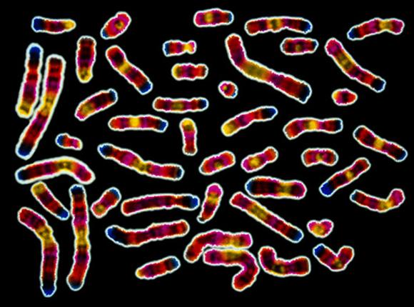 המידע הגנטי של כל היצורים החיים בכדור הארץ נמצא במולקולות ה-DNA ששוכנות בתאיהם. מולקולות ה-DNA, הכרומוזומים, של אדם | Scott Camazine, Science Photo Library