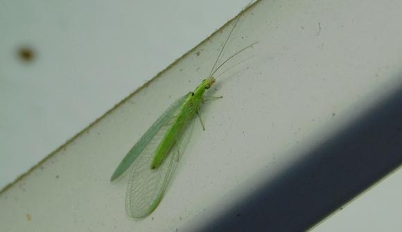 חרק מועיל לחקלאות בזכות זחליו הניזונים מכנימות. עינפז ירוק | צילום: איגור ארמיאץ' שטיינפרס