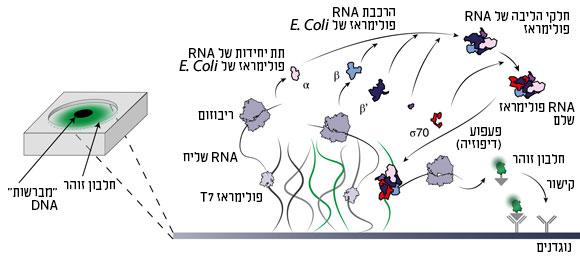 תהליך הייצור וההרכבה של RNA פולימראז | איור: מעבדת רועי בר-זיו, מכון ויצמן למדע