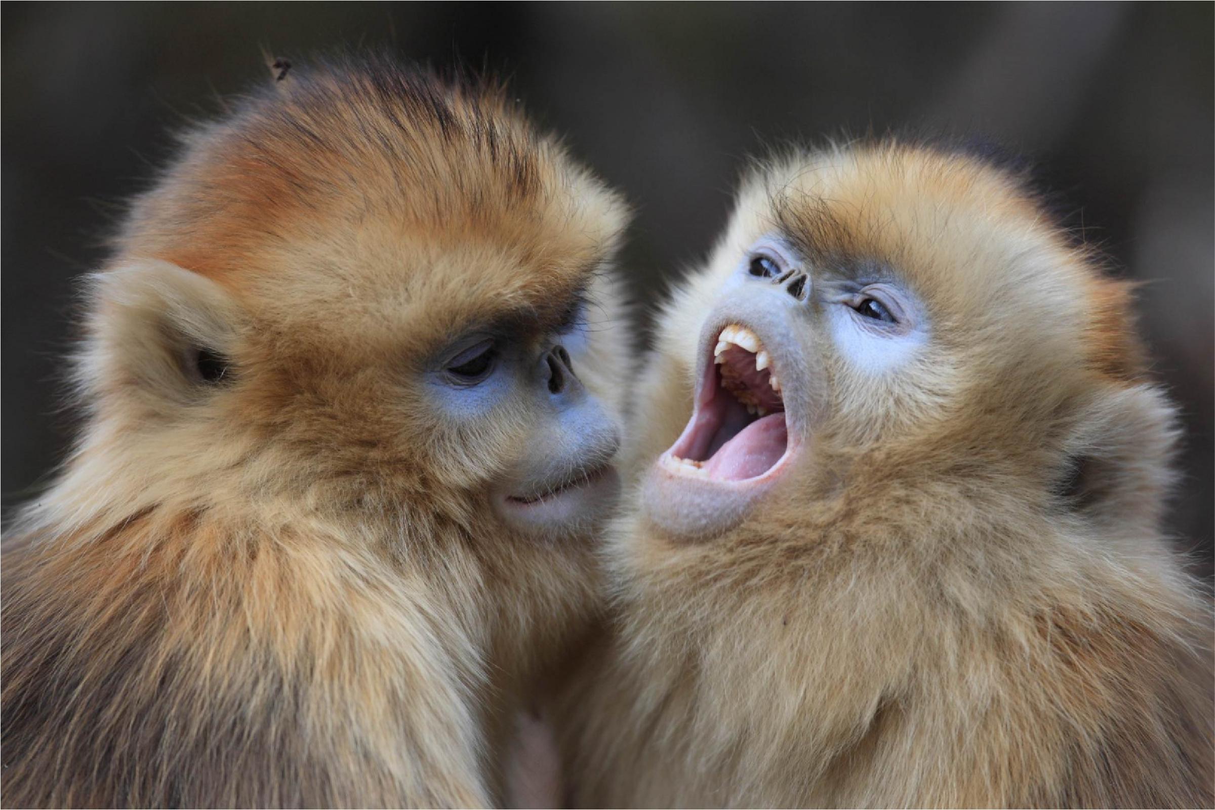 קופי חרומף זהוב | Cyril Ruoso, Nature Picture Library, SPL