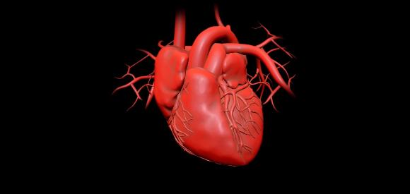 לב של אדם | איור: ANDRZEJ WOJCICKI/SCIENCE PHOTO LIBRARY