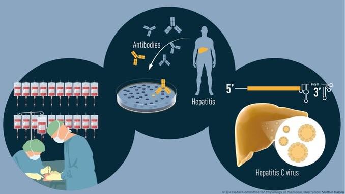 תרומתם של שלושת החוקרים, משמאל לימין: זיהוי נגיף לא מוכר המועבר בדם, זיהוי הנגיף בעזרת נוגדנים ופיתוח בדיקה, והוכחה שהוא אכן גורם למחלת כבד | איור: אתר פרס נובל