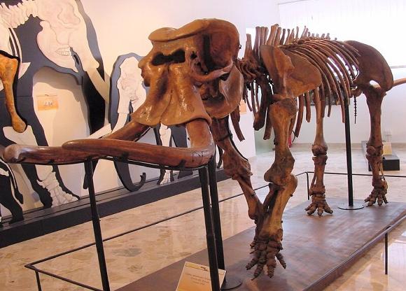 """כל דור שקל 200 ק""""ג פחות. שלד של אחד הפילים הגמדיים   מקור: ארכיון המוזיאון הגיאולוגי, Gemmellaro"""