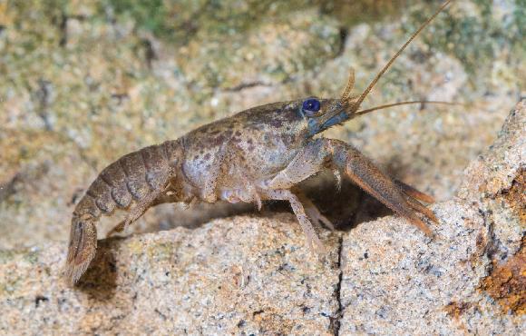 כבר לא מרגישים צורך להסתתר, וזה עלול להיות מסוכן לסביבה. סרטן נהרות | צילום: Geza Farkas, Shutterstock