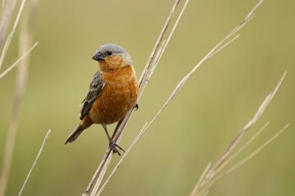 זכר של ספורופילה כתומת בטן בטריטוריה שהוא חולק עם ציפורים מהמין ספורופילה איברה | צילום: שילה טורבק