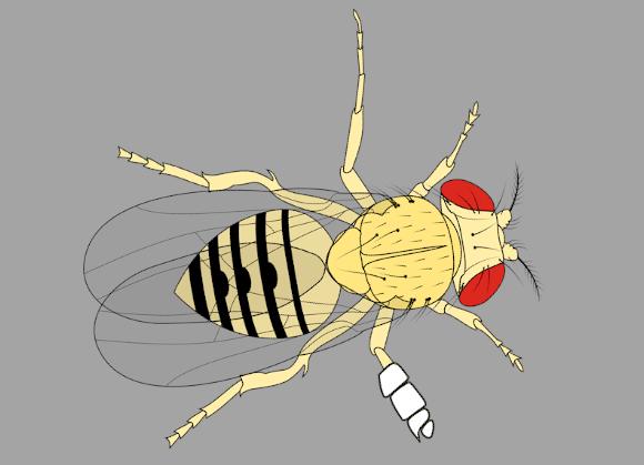 איור של זבובת דרוזופילה עם תחבושת על הרגל
