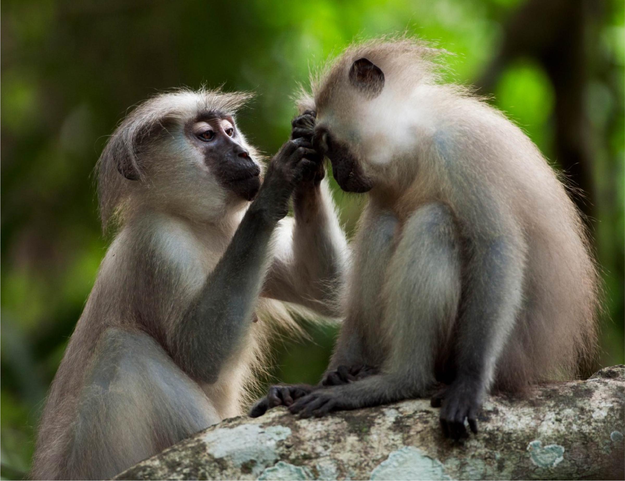 נקבת קופת מנגבי (Cercocebus galeritus) מסרקת את פרוותו של קוף צעיר| Fiona Rogers, Nature Picture Library, SPL