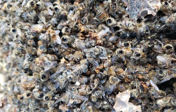 עדות לביקור של צרעת הענק הרצחנית? הדבורים המתות של טד מקפול | מקור: משרד החקלאות של מדינת וושינגטון, WSDA